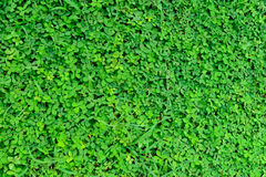Green grass arachis repens Stock Photo