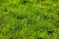 Green grass background. Green grass as the background Stock Photos