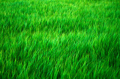 Green Grass as background Stock Photo