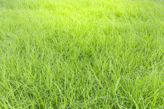 Green grass as texture Royalty Free Stock Photo