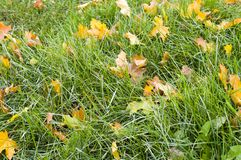 Green grass with autumn leaves background. nature stock photos
