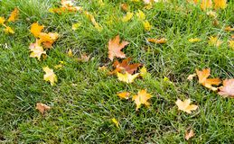 Green grass with autumn leaves background. nature royalty free stock image