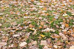 Green grass with autumn leaves background. nature royalty free stock photo