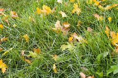 Green grass with autumn leaves background. nature stock image
