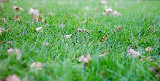 Green grass and autumn leaves. Royalty Free Stock Image