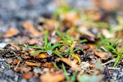 Green grass among autumn yellow leaves close up. Autumn nature royalty free stock photos