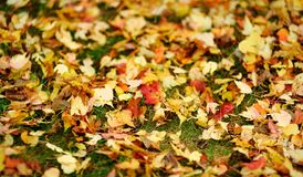 Green grass and autumn yellow leaves. Fall background stock images