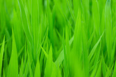 Green grass backgorund Royalty Free Stock Photography