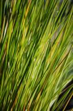 Green Blades of Grass Royalty Free Stock Photo