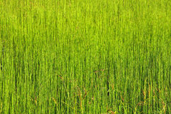 Green grass background. The picture shows the field of uniform green grass, suitable as a background image stock photography