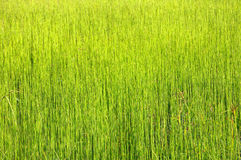 Green grass background. The picture shows the field of uniform green grass stock image