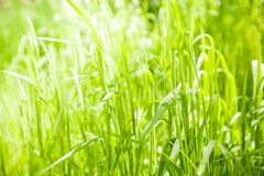 Free Green Grass Background Royalty Free Stock Images - 115889559