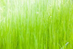 Free Green Grass Background Royalty Free Stock Images - 115889669