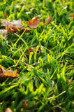Green grass background. With sunlight shinning through Stock Images