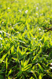 Green grass background. With sunlight shining through Stock Photo