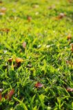 Green grass background. With sunlight shinning through Royalty Free Stock Photos