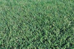 Green grass background. Green grass after rain, green background Stock Image
