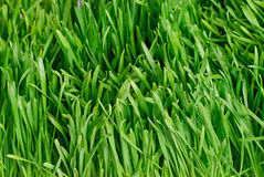 Green grass background. Green grass, the nature background Royalty Free Stock Photography