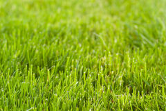 Green grass background. Fresh cut lawn texture with diminishing perspective Stock Photography