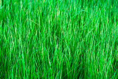 Green grass background. Summer photo Stock Photography