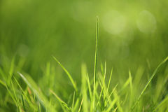 Green grass background. Closeup of spring green grass. Shallow focus depth on front blades of grass stock photo