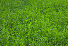 Green grass background. Background of lush green grass Stock Photos