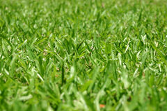 Green grass background. Closeup of green grassy field (note that centre of shot is in focus stock photos
