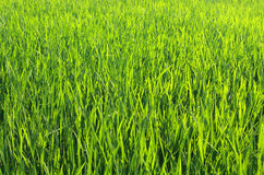 Green grass background. Field of Green grass background Royalty Free Stock Photos