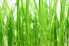 Green grass background. Close-up green grass with dew background Stock Photo