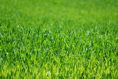 Green grass background Royalty Free Stock Image