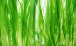 Green grass background. Soft-focused green grass for background use Stock Photo