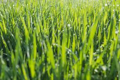 Green grass background. Abstract blurred background with grass and sunlight and dew drops Stock Image