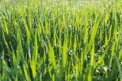 Green grass background. Abstract blurred background with grass and sunlight and dew drops Stock Photos