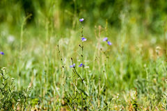 Green grass background and a blue field flower Stock Photography