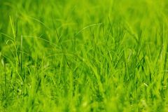 Green grass background. Close-up green grass background royalty free stock images