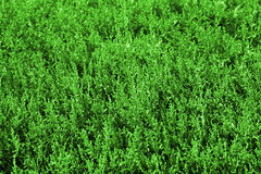 Green grass background. Close up background with green grass Royalty Free Stock Photo