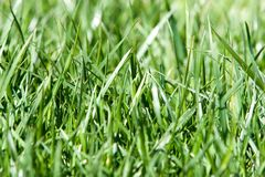 Green grass background closeup Royalty Free Stock Images