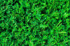 Green grass background. Closeup the green grass background Royalty Free Stock Photos