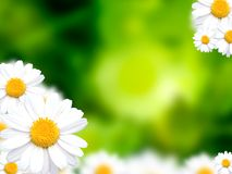 Green grass background with daisy flowers Stock Photos