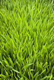 Green Grass Background. A fresh green grass background Royalty Free Stock Photography
