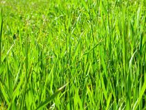 Green grass background. Fresh, green grass field, background Royalty Free Stock Image