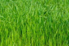 Green grass background. Fresh juicy green grass background, natural backdrop royalty free stock images
