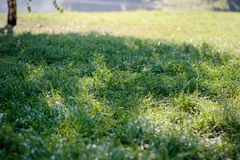 Green grass background. With dew drops at park stock photography