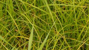 Green grass background. Green grass plants  with long blades view of a bottom-up background stock footage