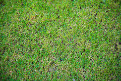 Green grass background, green rough texture background. And wallpaper. Can be use natural background, wallpaper,template,screensaver and backdrop stock photography