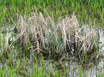 Green grass around and  island of dry grass at pond water. Green grass at background and  island of dry grass, growing at the pond water Royalty Free Stock Photo