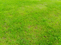 Green grass background isolated. With some weeds Royalty Free Stock Photos