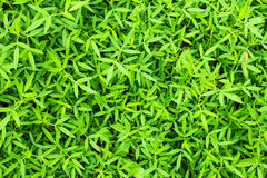 Green grass background. The green leaf make us more refresh when we looking to the backgroud Stock Photos