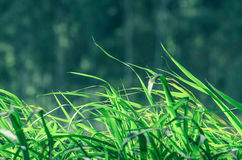 Green grass background moving to the side with the wind. Nature background: Green grass background moving to the side with the wind Royalty Free Stock Image
