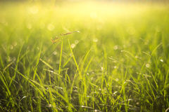 Green grass background. Green grass natural background Royalty Free Stock Photo